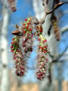 Populus tremuloides - Aspen @DBG LAH 184