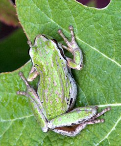 Tree frog_FederalWay-WA_LAH_4009