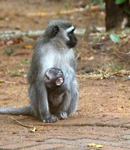 This mother Vervet monkey carries its baby on its chest.