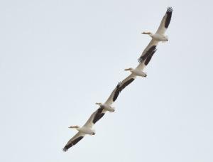 White Pelicans_BearLakeMigratoryBirdRefuge-UT_LAH_3508