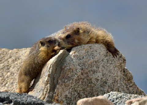 Yellow-bellied Marmots may have two to seven siblings.