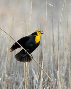 Yellow-headed Blackbird_BearLakeMigratoryBirdRefuge-UT_LAH_3422