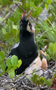 Anhinga on nest_EvergladesNP-FL_LAH_4788-001