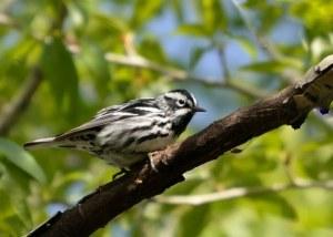 Black-and-white Warbler_BCNC-CO_LAH_5095