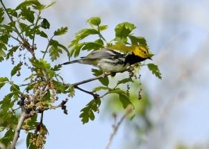 Black-throated Green Warbler_BCNC-CO_LAH_5033