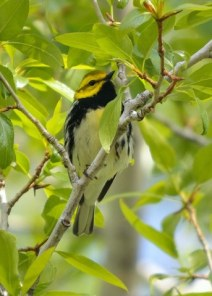 Black-throated Green Warbler_BCNC-CO_LAH_5105
