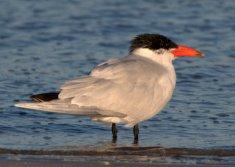 Breeding Caspian Tern