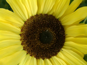 Helianthus annus - Sunflower