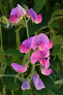 Lathyrus odoratus_Sweet peas_CoSpgs-CO_LAH_6185