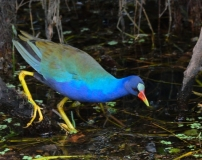 Purple Gallinule_SharkValley-EvergladesNP-FL_LAH_5812-001
