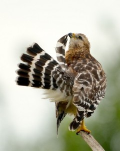 Red-Shouldered Hawk_EvergladesNP-FL_LAH_5107-001