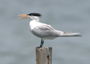 Here is the same species as above, but in breeding plumage.