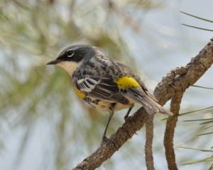 Yellow-rumped Warbler_FCNC-CO_LAH_5510