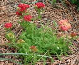 Achillea millefolium 'Desert Eve'_BlkForest-CO_LAH_5720