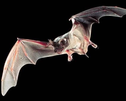brazilian free-tailed bat wikicommons