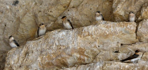 Cave Swallows_CarlsbadNP-NM_LAH_8380 (2)