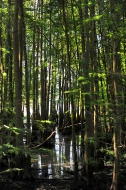 CypressSwamp_NoxubeeNWR-MS_20090618_LAH_3940