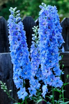 Delphinium_ColoSpgs-CO_LAH_4854-001