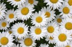 Leucanthemum x superbum_Shasta Daisies _XG_LAH_7067