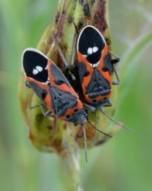 Milkweed Bugs_ColoSpgs-CO_LAH_7103