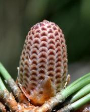 Ponderosa pine cones_BlkForest-CO_LAH_7529-001