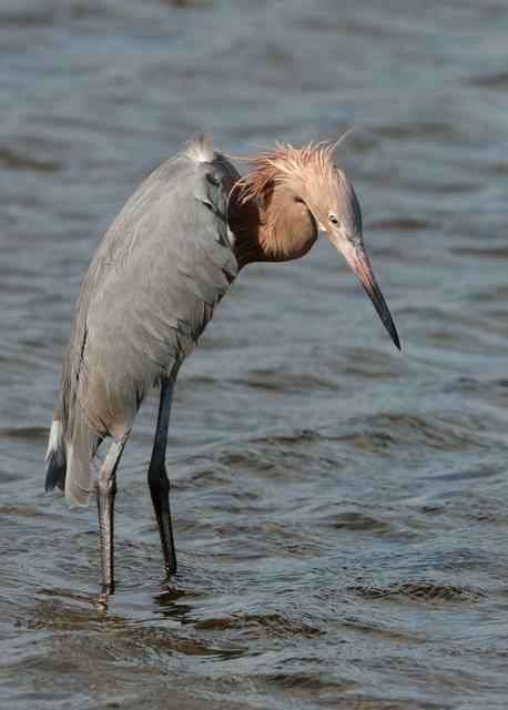 Reddish Egrets_MerrittIslandNWR-FL_LAH_3887-001