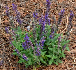Salvia 'Merleau Blue'_BlkForest-CO_LAH_5721