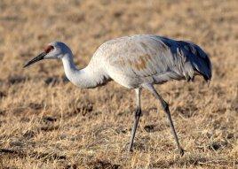Sandhill Cranes_BosquedelApacheNWR-NM_LAH_7386