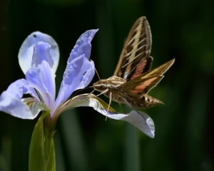 White-lined Sphinx Moth_ColoSpgs-CO_LAH_7347
