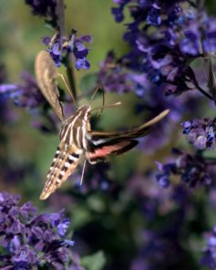 White-lined Sphinx Moth_DBG-CO_LAH_6142