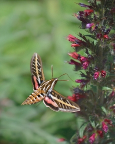 White-lined Sphinx Moth_DBG-CO_LAH_6355