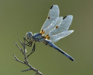 blue Dragonfly_BitterLakeNWR-NM_LAH_7812-001