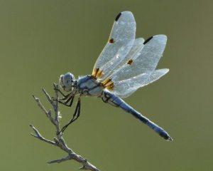 blue Dragonfly_BitterLakeNWR-NM_LAH_7812-001