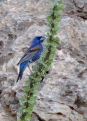 Blue Grosbeak_CarlsbadNP-NM_LAH_8189-001