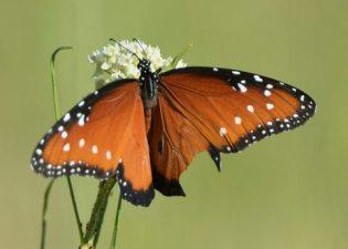 Butterfly_RattlesnakeSprings-NM_LAH_8611-001