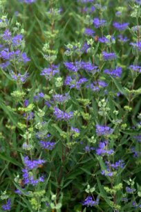Caryopteris clandonensis_Bluemist Spirea_XG_ColoSpgs-CO_LAH_5819