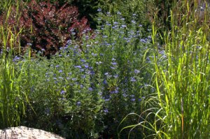 Caryopteris x clandonensis 'Blue Mist' Spiraea_XG_20090820_LAH_9249