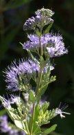 Caryopteris x clandonensis 'Blue Mist' - Spiraea_XG_20090820_LAH_9331.nef