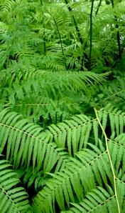 Cibotium schiedei - Mexican Tree Fern @DC LAH 042c