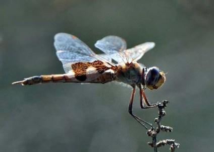 Dragonfly_BitterLakeNWR-NM_LAH_9074-001
