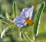 Solanum elaeagnifolium_Silverleaf Nightshade_BitterLakeNWR-NM_LAH_8160-001