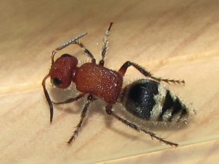 Female Timulla sp. velvet ant. Photo: Eric Eaton