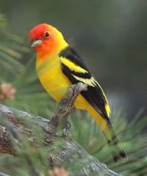 Western Tanager_BlkForest-CO_LAH_5644_filtered