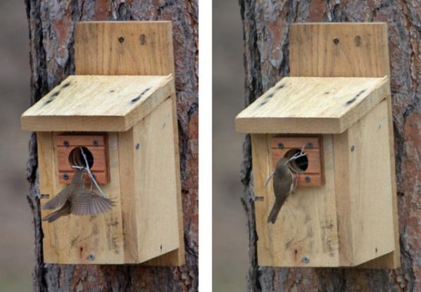 House Wren at nest box-001