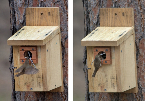 House Wren at nest box-001