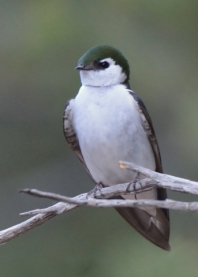 Violet-green Swallow_RidgwaySP-CO_LAH_4409_filtered