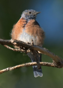 Western Bluebird_TurkeyCreek-FtCarson-CO_LAH_9780