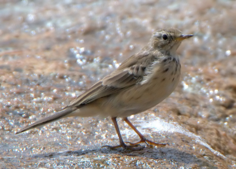 American Pipit_MtEvans-CO_LAH_6884f-001