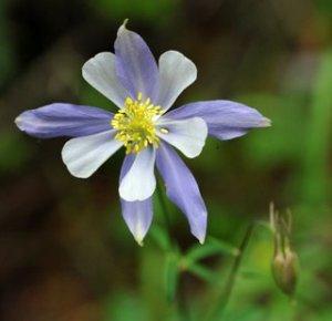Blue Columbine - Aquilegia caerulea