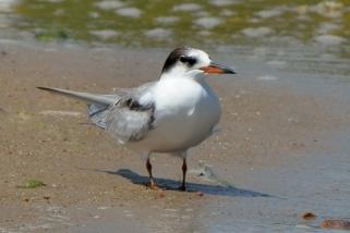 Common Tern_JacksonLakeSP-CO_LAH_2197